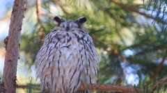 Long-eared owl (Asio otus) dozing on a pine branch and yawns Stock Footage