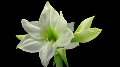Growing and rotating white amaryllis flower in RGB + ALPHA matte format Stock Footage