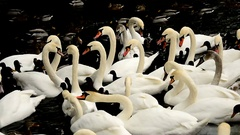 Group of mute swans and other water birds chasing pieces of bread Stock Footage