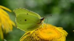 Brimstone  butterfly on blossoming elecampane flower in garden Stock Footage