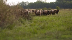 Sheep in rural Hungary Stock Footage