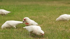 White cockatoos searching for food Stock Footage
