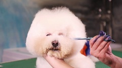 Groomer makes a stylish haircut of Bichon Frise dog Stock Footage