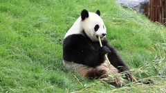 Big panda eating bamboo stalk Stock Footage