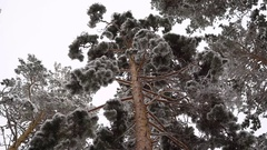 Bottom view of on adult pine. It is high enough,  has a dense foliage, so the to Stock Footage