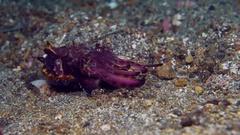 Flamboyant Cuttlefish (Metasepia pfefferi) feeding Stock Footage