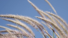 Wild decorative wheat on the wind by the day shallow DOF Stock Footage