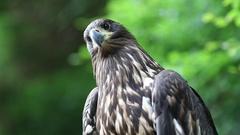 Bird of prey looks around Stock Footage