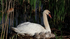 Mute Swan parent (Cygnus olor) with cygnets on nest, E. USA Stock Footage