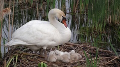 Mute Swan (Cygnus olor) parent watching over cygnets on nest, E USA Stock Footage