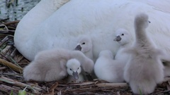 Cygnet swans (Cygnus olor) on nest with parent, grooming, E USA Stock Footage