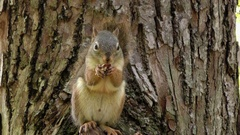 American Red Squirrel eating acorn Stock Footage