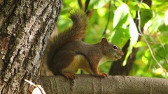 American Red Squirrel scratching itself, E USA Stock Footage