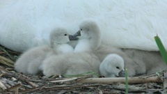 Cygnet swans (Cygnus olor) on nest with parent, grooming, E. USA Stock Footage