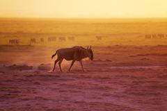 Adult blue wildebeest walking at evening savannah Kuvituskuvat
