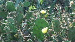 Close up of a prickly pear with flowers on Penghu islands, in Taiwan. Stock Footage
