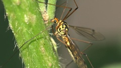 Insect Mosquito Crane fly Tipula luna male macro sitting on green leaf 4k Stock Footage