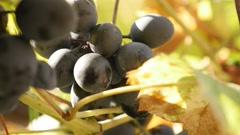 Hidden European Vitis vinifera healthy fruit and golden leaves food background Stock Footage