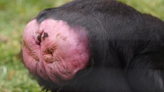 Celebes crested macaque, swollen behind. Stock Footage