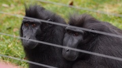 Two Macaque black apes behind wire. Stock Footage