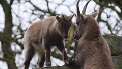 Alpine ibex youngster and adult banging heads. Stock Footage