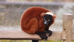 Red ruffed lemur sitting on wooden fence. Stock Footage