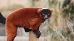 Red ruffed lemur perched on wooden fence. Stock Footage