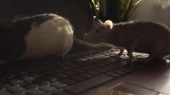Laptop keyboard. Domestic rats run on the notebook keypad. Lovely kind rats on Stock Footage