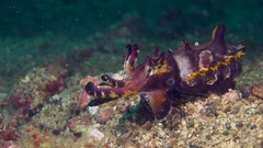 Close-up of a Flamboyant Cuttlefish displaying colours Stock Footage