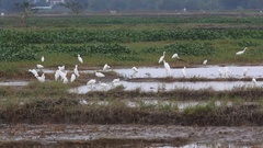 Intermediate Egret (Egretta intermedia) feed on harvested rice fields Stock Footage