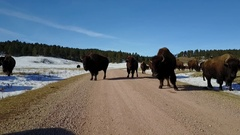 Bison Buffalo Herd on Road at Custer State Park Stock Footage