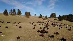 Aerial of Large Herd of Bison Buffalo North American Great Plains Stock Footage