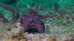 Flamboyant Cuttlefish female feeding Stock Footage
