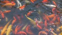 Ornamental cute asian koi fish swim in natural pond tropical animal wild habitat Stock Footage