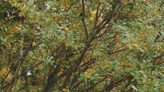 Tree branches with yellow and green leaves shaking very hard Stock Footage