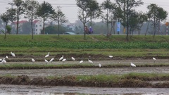 Yellow-billed Egret  (Egretta intermedia) feed on harvested rice fields Stock Footage