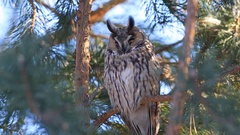 Long-eared owl (Asio otus) sitting on a branch of pine and napping Stock Footage