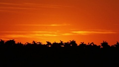 Time lapse shot of sun rising into clear orange sky behind a crop of sunflowers Stock Footage