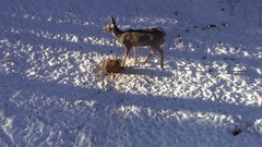 View from Treestand Overhead of White-tailed Deer Eating at Bait Block in Winter Stock Footage