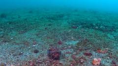 Flamboyant Cuttlefish - Metasepia pfefferi feeding on a shrimp Stock Footage