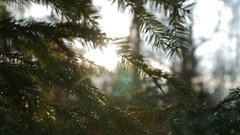Sunset panoramic view of magical forest scene with play of sun through pine Stock Footage