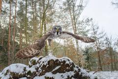 Departure of great grey owl. Wide closeup shot Stock Photos