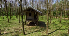 Aerial: Abandoned hut in a rubber tree grove. Hevea. Stock Footage