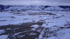 Aerial of Large Herd of North American Elk Grazing Winter Range Rocky Mountains Stock Footage