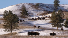Elk and Bison aka Buffalo in North American Great Plains in Winter Stock Footage