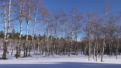 Slow Pan Trembling Quaking Aspen Forest in Blanket of Winter Snow Blue Sky Stock Footage