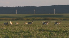 Pronghorn antelope slow motion through green meadow Stock Footage