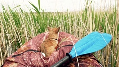 Dog in a boat in the reeds on the river. Happy Chihuahua lies on board of kayak Arkistovideo