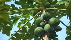 Papaya tree with fruits Stock Footage