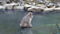 Snow Monkey Japanese Macaque At Jigokudani Monkey Park Japan Asia Stock Footage